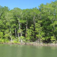 Bosque de Manglar/Estero de Jaltepeque