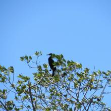 Phalacrocorax brasilianus (Pato Chancho) especie potencialmente oportunista en la zona.