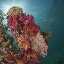 Soft coral garden, a charming dive site of the Great Sea Reef's marine protected area.