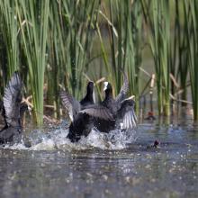 Stagni di Posada – Volo di aironi guarda buoi (Bubulcus ibis)