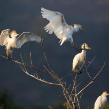 Stagni di Posada – Posatoio di Aironi guardabuoi (Bubulcus ibis)