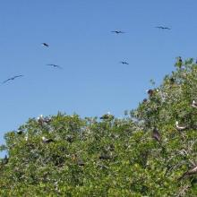 A colony of Magnificent frigatebirds Fregata magnificens on the red mangrove forests (Rhizophora mangle).
