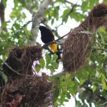 Oropendola en tambococha, Parque Nacional Yasuní