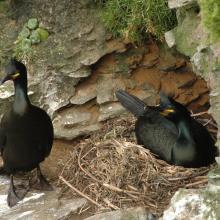Pareja de cormorán moñudo (PN Marítimo-Terrestre de las Islas Atlánticas de Galicia)