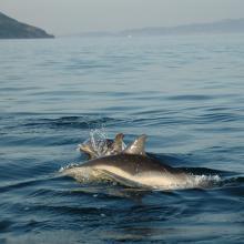 Delphinus delphis (PN Marítimo-Terrestre de las Islas Atlánticas de Galicia)