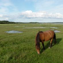 Horse grazing in the tidal meadows.