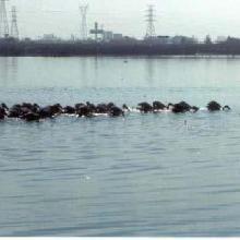 Laguna Olmeca. Descansando pelícanos negros