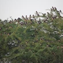 Rosy Starling Flock