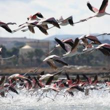 A flock of Flamingos (Phoenicopterus ruber)