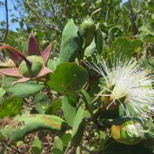 Fruits de Bruguiera gymnorrhiza