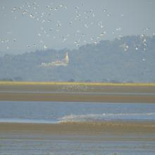 Flock of white-winged terns following the rushing tidal bore