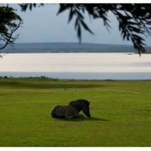 Zebra near Darwendale Dam (Manyame)