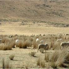 Lets'eng-la-Letsie: sheep &  white mohair goats