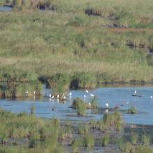 Waterfowl in Ropotamo Complex. The photo was taken during a field study part of the preparation of the Ropotamo Reserve Management Plan.