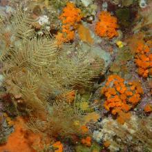 Paysage coralligène avec Corail orange Astroides calcycularis et hydrozoaires