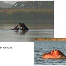 Hippos in Rondevlei