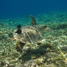 6. Green turtle in Zamami Island