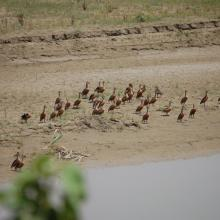 Congregation of Lesser Whistling Duck at Parvati Arga Bird Sanctuary