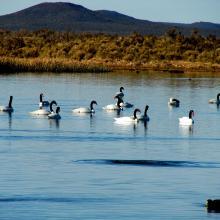 Cisnes Cuello Negro