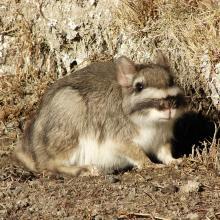 Vizcacha (Lagostomus maximus)