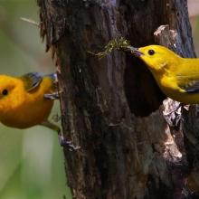 Nesting prothonotary warbler along LWR slough