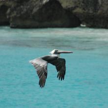 Brown Pelican at Slagbaai