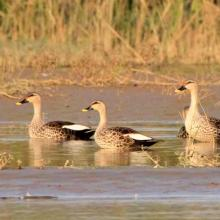 Indian spot-bill duck at Keshopur-miani community reserve