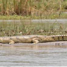 Gharial basking on a mid channel island near River Beas.