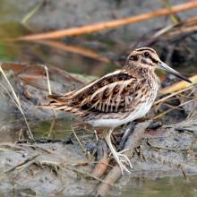 Shorebird at Sultanpur