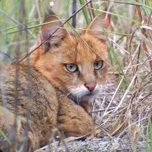 Jungle Cat at Sultanpur