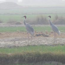 A pair of Sarus Crane at Saman Bird Sanctuary