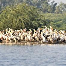 Colony of Spot-billed pelicans at Sur Sarovar Wildlife Sanctuary