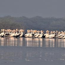 Congregation of Pelicans at Sur Sarovar Wildlife Sanctuary