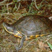 La Tortuga Pinta (Trachemys venusta) es la especie que permanece mayor tiempo asoleándose sobre los pantanos y puede observarse fácilmente.