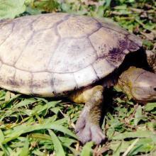 La Tortuga Blanca (Dermatemys mawi) es la especie de tortuga dulceacuícola en mayor peligro de extinción en México, y estos humedales representan uno de sus últimos refugios en el estado de Veracruz.