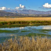 Reeds at Ulcinj Solana