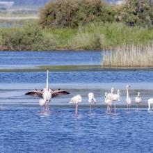 Flamingos at the Ulcinj Solana