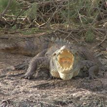 crocodile du nil au bord du marigot du djoudj