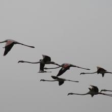 flamants roses en vol au dessus de la rivière Gorom