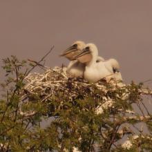 poussins de pelicans gris (canal du crocodile)