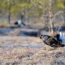 Open transition mires are ideal displaying ground for Black grouse. Up to 30 males gather on the Postrezhskoe mire.