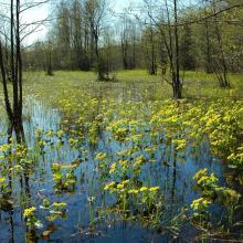 Marsh marigold begins to blossom in early spring on the floodplain meadows of the Berezina River.