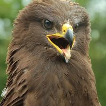 The Lesser spotted eagle is protected species of birds of prey, which is common in open biotopes in the Berezina floodplain.