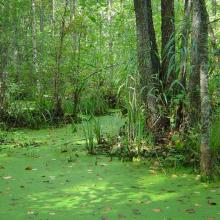 Black alder swampy forests in the southern part of the Reserve represent unique massif of untouched forests at an area of more than 15,000 ha.