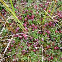 Berries of the Bog cranberry ripen on bogs in spring. It serves as a perfect food for many animal species.