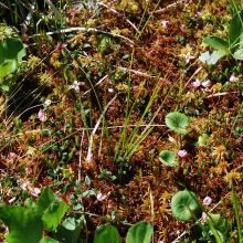 Sphagnum-cranberry phytodiversity of the bog at the shore of Lake Maricheika