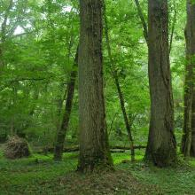 "Century-old forest of ""Atak"" area"