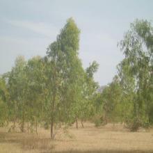 Plantation d'eucalyptus au bord du barrage