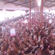 Environ 2000 poules pondeuses dans la ferme