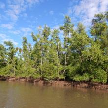 Mangroves le long du chenal